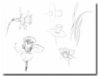 comment dessiner des jonquilles