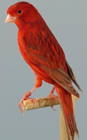 kanarie bruin