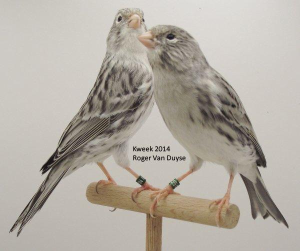 Op 't hok bij ... Roger Van Duyse te Sint Niklaas > Agaat Topaas Geel & Agaat Wit