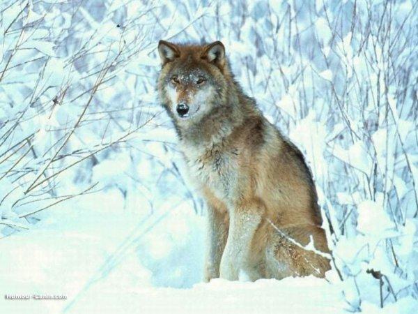 Blog de LouveLegendaire  Page 2  Reveuse de loups  ~ La Faim Fait Sortir Le Loup Du Bois