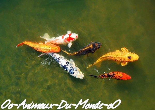 Le poisson carpe ko oo animaux du monde oo for Croisement carpe koi poisson rouge