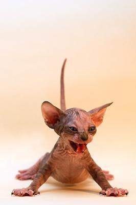 Article 69 le chat sans poil hey p - Chat qui perd pas ses poils ...