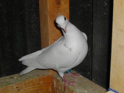 pigeon voyageur perdu ou mort