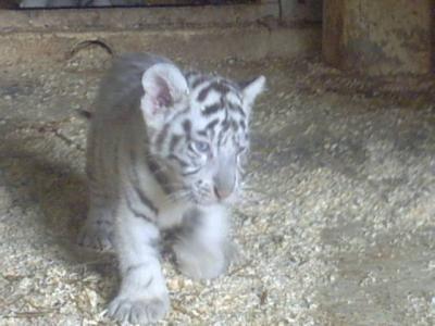 Un bebe tigre blanc trop mignon plein des animaux - Bebe tigre mignon ...