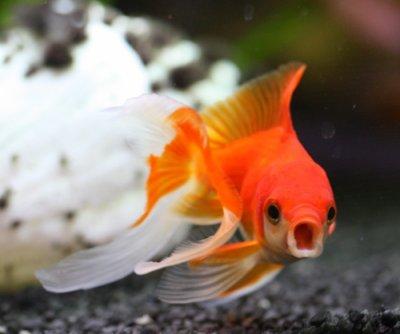 poisson rouge blog de x animaux planet x. Black Bedroom Furniture Sets. Home Design Ideas