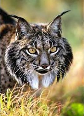 le lynx ib rique en voie de disparition des animaux en vrac. Black Bedroom Furniture Sets. Home Design Ideas