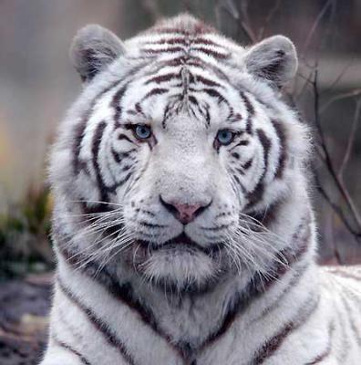 joyeux no l pix tigre blanc un des milliers d 39 animaux. Black Bedroom Furniture Sets. Home Design Ideas