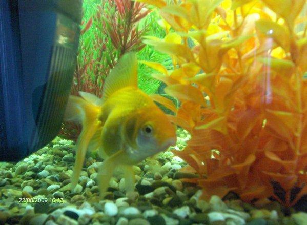 Le poisson rouge queue de voile oriflamme voile de chine for Poisson rouge queue de voile