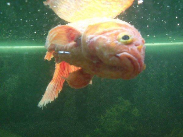Mes poissons voile de chine poisson rouge mort voile for Nourriture poisson rouge voile de chine