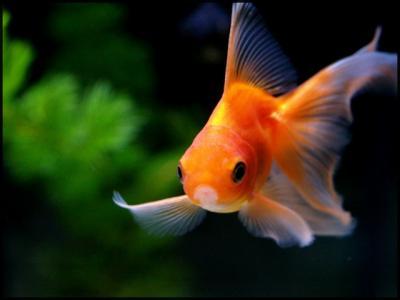 Blog de poisson rouge 06 la vie d 39 un poisson rouge for Acheter poisson rouge animalis