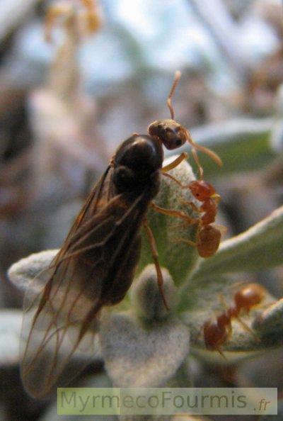 fourmis ail es et volantes essaimage blog de fourmis0. Black Bedroom Furniture Sets. Home Design Ideas