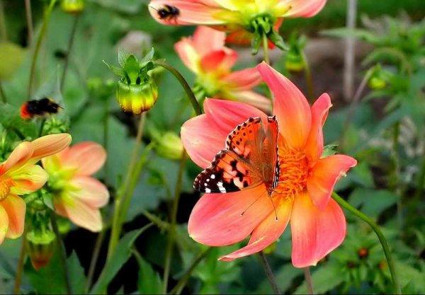 Jolies plantes fleurs du mexique l la louve rose de cinquantaine harmonie - Plante du mexique ...