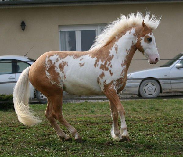 Luna Paint Horse For Sale