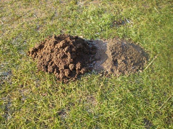 Les taupes cause de d gats dans les pelouses et jardins for Taupe dans le jardin