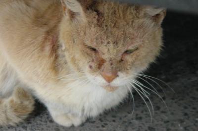 chat de la rue plein de gale Chers Amis des Animaux