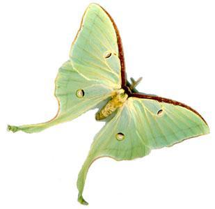 Papillon de lune ou de l 39 autre a la d couverte du monde animal - Duree de vie papillon de nuit ...