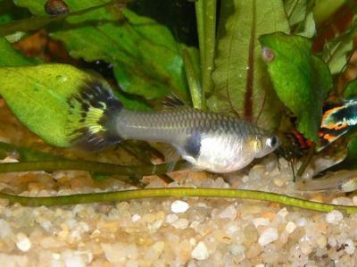 comment savoir si sa femelle guppy est elle bien enceinte le monde des poissons. Black Bedroom Furniture Sets. Home Design Ideas