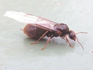 comment trouver reine des fourmis