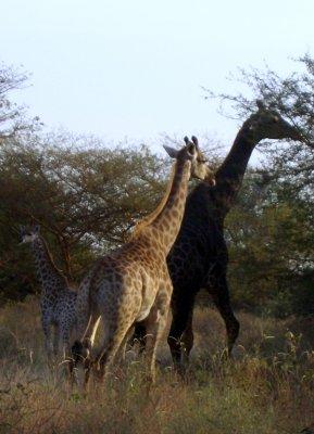une girafe noire bis le s n gal ne se raconte pas il se vit il se. Black Bedroom Furniture Sets. Home Design Ideas