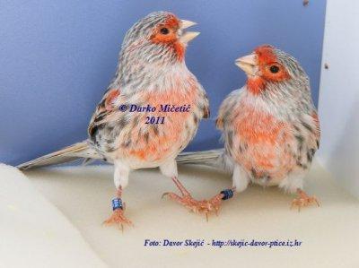 Agata red mosaic male 2011