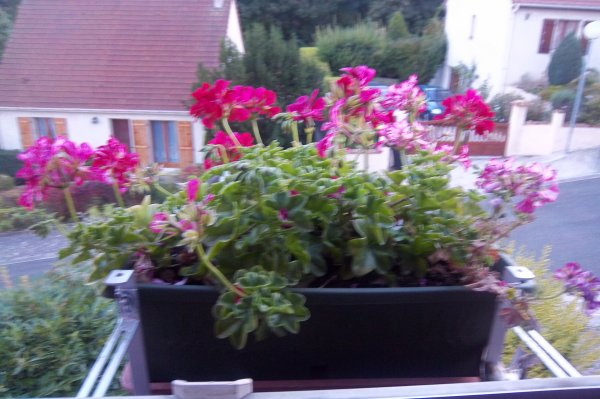 Les g raniums dans la jardini re devant la fen tre de for Poster devant la fenetre je guette