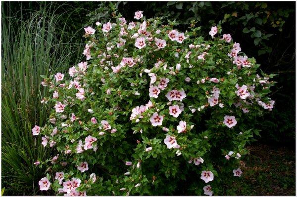L 39 hibiscus d 39 exterieur les coups de coeur d 39 ingrid for Hibiscus entretien exterieur