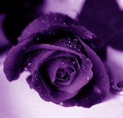 la plus belle fleur rose du monde