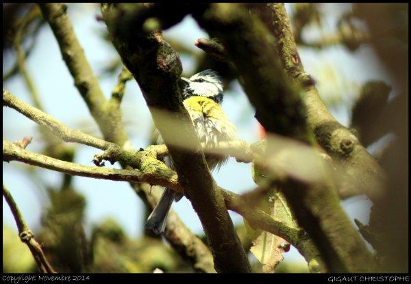 MESANGE BLEUE (Parus caeruleus)