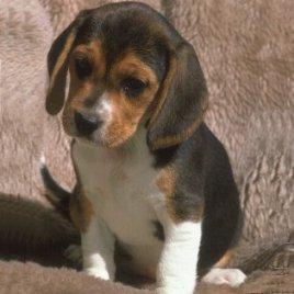 Beagle chiot adulte blog de dog paradis7 - Chien beagle adulte ...