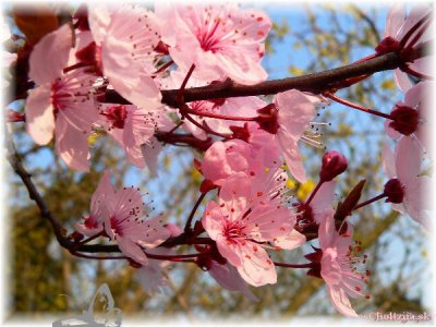 Blog de escholtziia page 2 le monde des fleurs - Arbre japonais rose ...