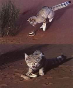 Le chat des sables la guerre des clans - Chat des sables a vendre ...