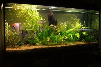 un aquarium de scalaires les poissons