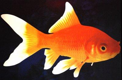 M moire de poisson rouge app0liine for Nom poisson rouge