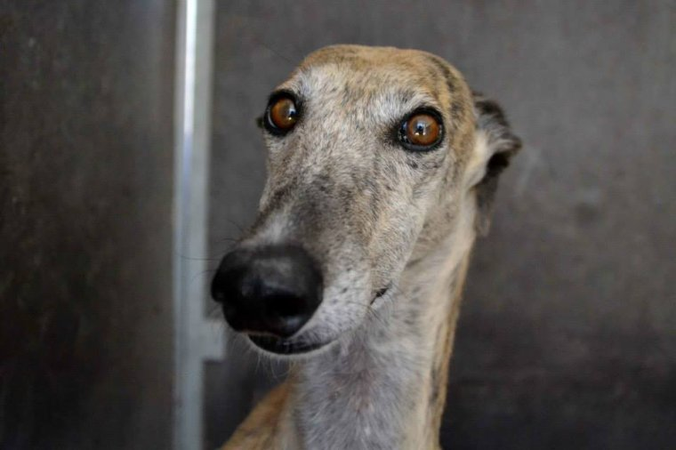 "Galga � l'adoption ""Sole""  Adopt�e"