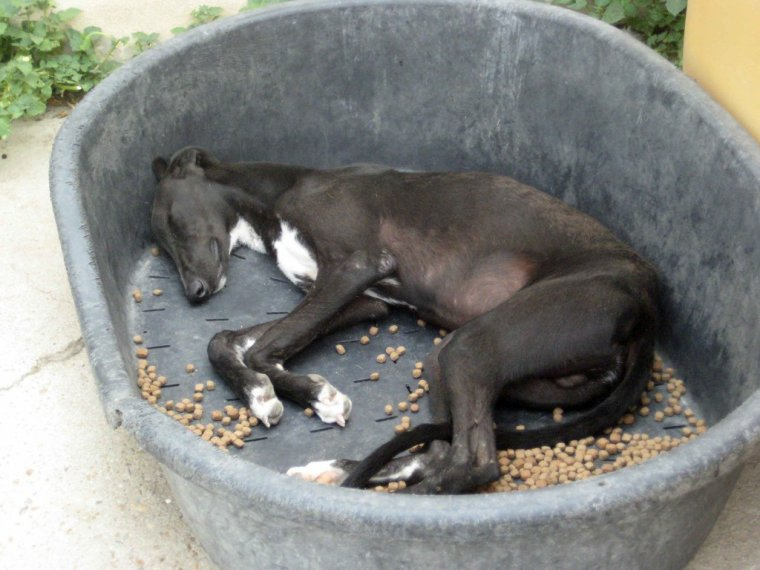Galgos � l'adoption Azar