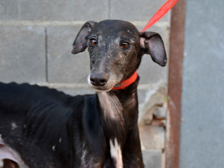 "Galgos � l'adoption ""Scooby France """