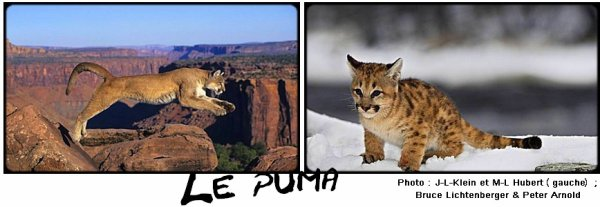 Fiche n�6 : Le puma