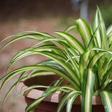 Chlorophytum la nature for Plante verte tombante