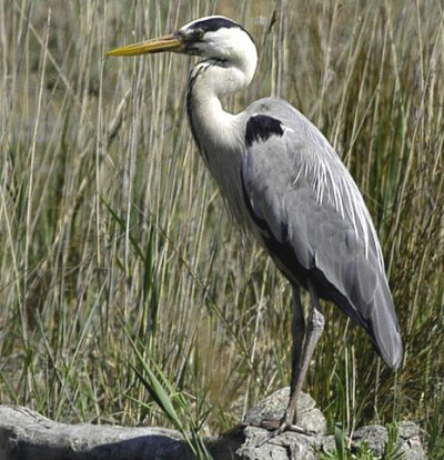 Blog de oiseaux predateurs page 4 les oiseaux for Oiseau gris et blanc