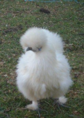 Blog de flipy41 ma passion des animaux for Poule soie blanche prix