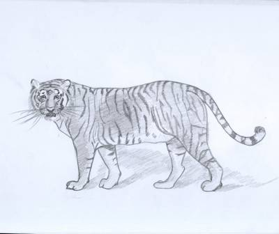 Tigre du bengale mes dessins - Image dessin tigre ...