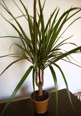 Dracaena marginata mon blog for Plante 150 maladies madagascar