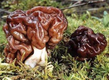 Les champignons dangereux article pour se cultiver for Champignon de maison dangereux