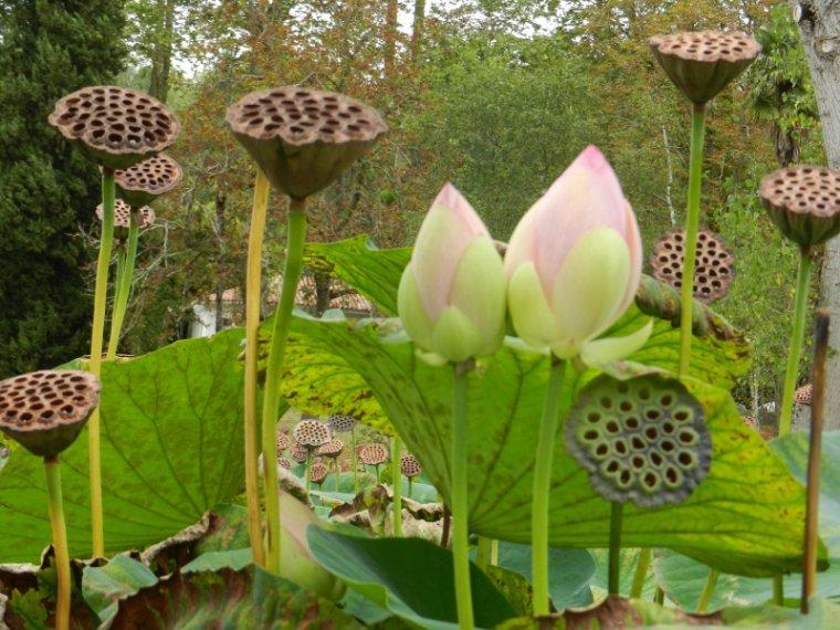 481 lotus blog de alpeflor. Black Bedroom Furniture Sets. Home Design Ideas