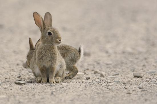 Le lapin de garenne ou lapin commun terre menac e - Cuisiner le lapin de garenne ...