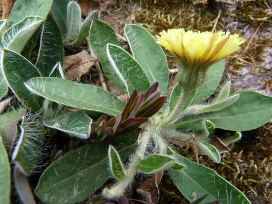 La piloselle pilosella officinarum nature for Portent feuilles