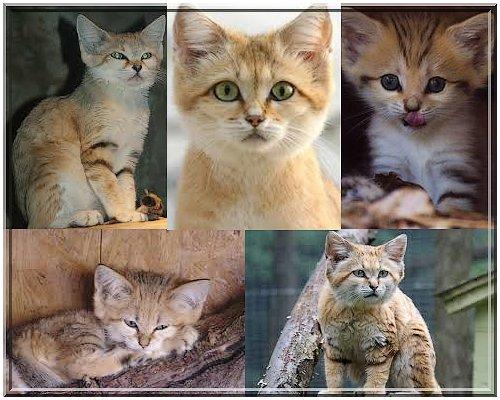 Les chats des sables les animaux sont en danger - Chat des sables a vendre ...