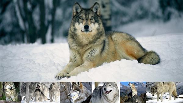 Animal n�2 :L E___L O U P __ G R I S