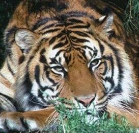 elevez un tigre combien sa coute voici le blog officiel des animaux. Black Bedroom Furniture Sets. Home Design Ideas