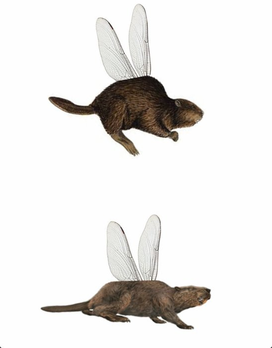 blogue de castorvolant09 le castor volant un animal. Black Bedroom Furniture Sets. Home Design Ideas